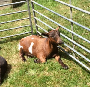 Goat relaxing in the sun